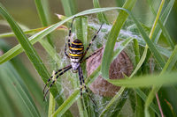 A Argiope bruennichi wasp spider defending its cocooned eggs on a green meadow in Germany.