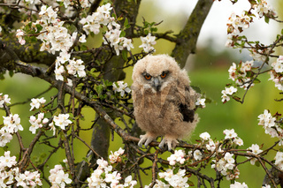 One six week old owl chick eagle owl sits in a tree full of white blossoms. Orange eyes look at you