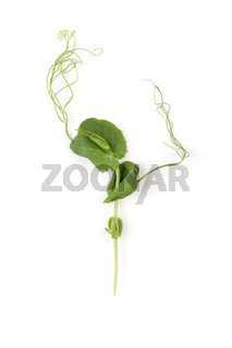 Microgreens. Tiny pea leaf on white background. Top view.