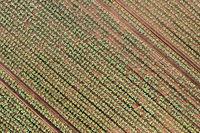 Aerial view cabbage crops on field