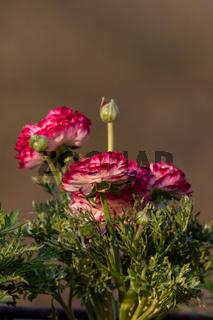 winterharte Blume