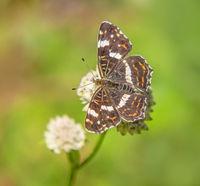 Map butterfly  'Araschnia levana'