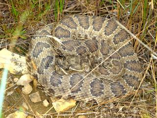Prairie Rattlesnake (Crotalus viridis)
