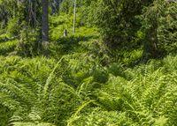 Fern plants in Bavaria