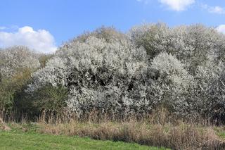 Großer blühender Schlehenbusch, Prunus spinosa