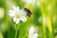 grizzled skipper on white flower VI