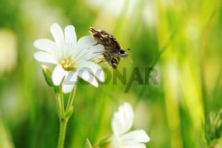 Kleiner Würfel-Dickkopffalter auf weißen Blumen VI