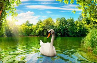 River in the forest and swan