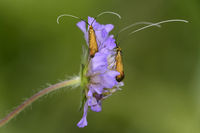 Skabiosen-Langhornmotte (Nemophora metallica)
