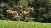 Group of red deer running on green field in spring