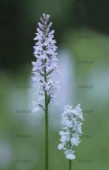 Fox orchid (Dactylorhiza fuchsii)