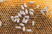 bees on a honeycomb filled with honey