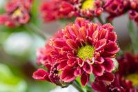 beautiful chrysanthemum closeup