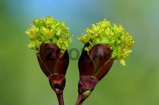 Spitzahorn Blütenentfaltung