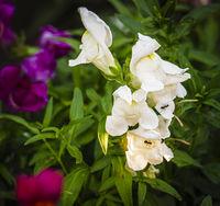 Snapdragon flowers in the summer garden.