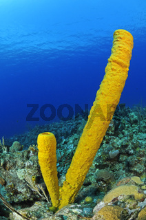 Aplysina fistularis, Gelber Roehrenschwamm, karibisches Korallesriff