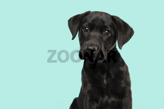 Portrait of a cute black labrador retriever puppy looking at the camera on a turquoise blue background