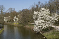 Blossom Magnolia trees at a lake, Muenster