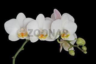 Orchideenbluete