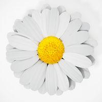 Daisy isolated on white background. 3D illustration