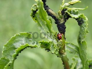 Marienkäfer mit schwarzen Bohnenläusen