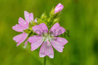 Malva Alcea flower in summer meadow