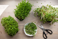 Top view of growing and cutting microgreens