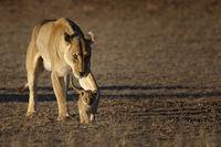 Baby Lion with lionesses, Kalahari