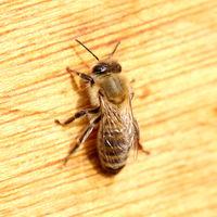 one honey bee