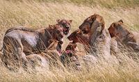 lions after killing an antelope, Etosha National Park, Namibia, (Panthera leo)