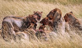 Löwenrudel nach dem Beutezug, Etosha-Nationalpark, Namibia, (Panthera leo) | lions after killing an antelope, Etosha National Park, Namibia, (Panthera leo)