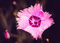 Pink Dianthus
