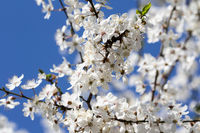 Sunlit blossom branches of fruit tree with small flowers and leaves and blue sky