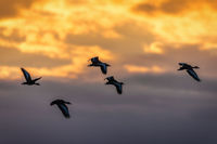 A group of whistling ducks fly off in the sunset.