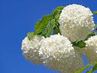 Close up of white flowers of shrub snowball, viburnum
