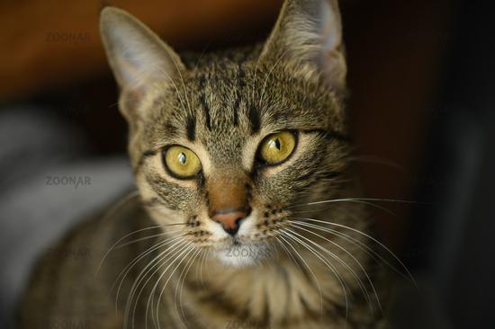 Young european shorthair cat's face