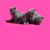 the cute gray kittens are looking down, sitting on the pink
