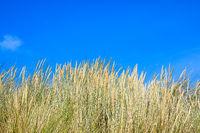 Beach grass against blue sky on Helgoland on the North Sea coast