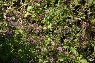 Fedia cornucopiae, Afrikanischer Baldrian, Algiersalat