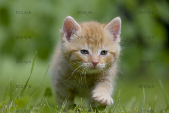 Cat, kitten walking on a meadow