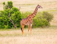 Giraffe with small horns