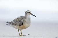 A Red Knot in the transition plumage summer-winter searches for food on a beach