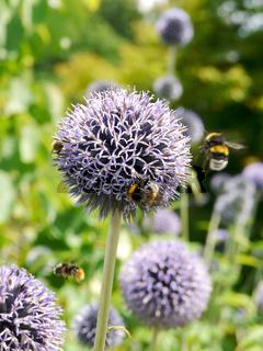 Allium Blüten und Hummeln