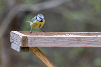 Blue Tit on a wooden table looking for food