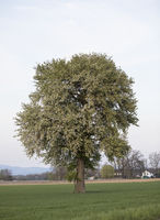 Birnbaum, pear tree