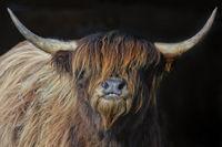 scottish highland cattle 1
