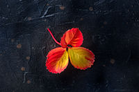 Colorful autumn leaf on a black background