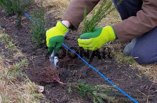 Hecke pflanzen Eibe - planting a taxus hedge 03