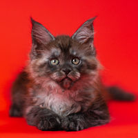 Beautiful pussy Maine Shag Cat of color black smoke lying down on red background, looking at camera