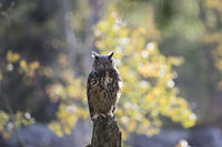 Uhu, Bubo bubo, Eurasian eagle-owl